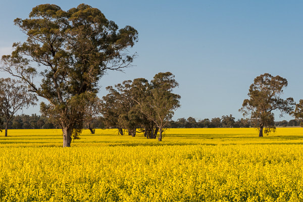 Canola field with gum trees