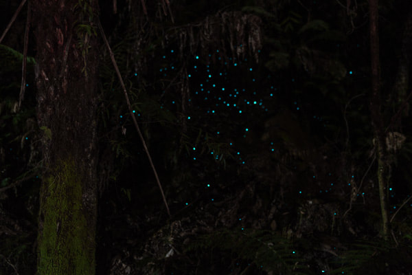 Glow worms in the trees, Kennett River