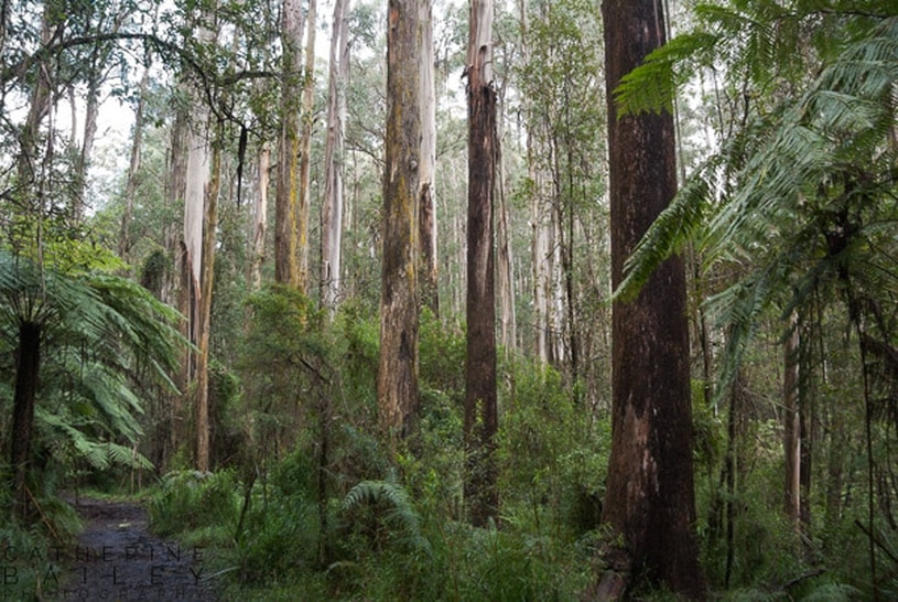 Forest at Mt Dandenong | Catherine Bailey Photography