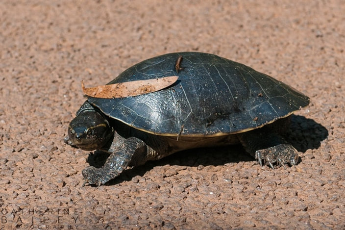 Turtle on roadway | Catherine Bailey Photography
